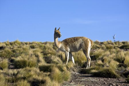 A Vicuna (Vicugna vicugna) in the scrubland of the Atacama Desert in northern Chile, South America. It is a relative of the llama, and is now believed to be the wild ancestor of domesticated alpacas, which are raised for their wool. Stok Fotoğraf