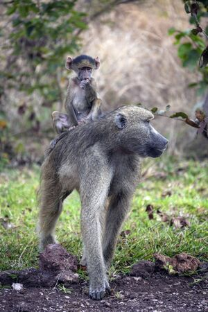 A Chacma Baboon (Papio ursinus) with its young in the Savuti region of Botswana, Africa.