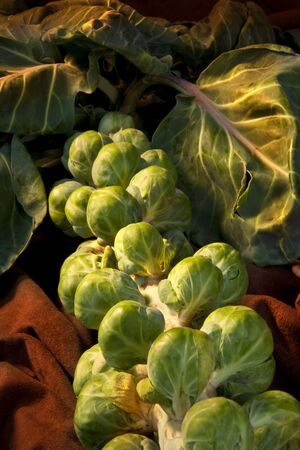 Brussels Sprout (Brassica oleracea)  They contain good amounts of vitamins A and C, folic acid and dietary fibre. They are believed to protect against colon cancer, due to their containing sinigrin.