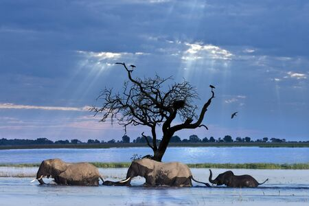 A group of African Elephants (Loxodonta africana) crossing the Chobe River in Chobe National Park in Northern Botswana.