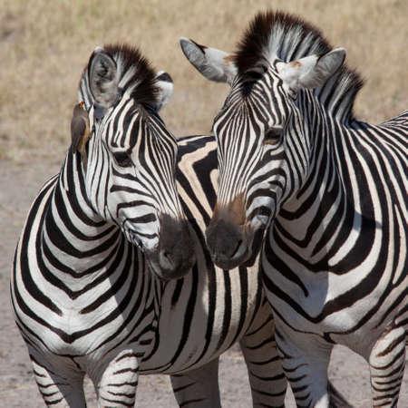 Two Plains Zebra (Equus quagga) in the Savuti region of northern Botswana, Africa