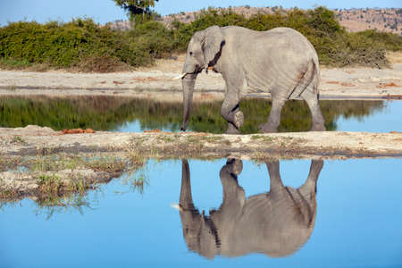 African Elephant (Loxodonta africana)  at a waterhole in the Savuti region of northern Botswana, Africa.