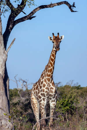 Giraffe (Giraffa camelopardalis) in the Savuti region of northern Botswana, Africa. The Giraffe is the tallest living terrestrial animal and the largest ruminant. Stok Fotoğraf