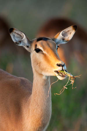 A young female Impala (Aepyceros melampus) in the Savuti region of northern Botswana, Africa.