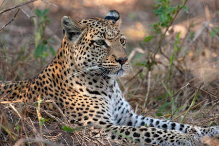 Leopard (Panthera pardus) in the Khwai River region of northern Botswana, Africa.