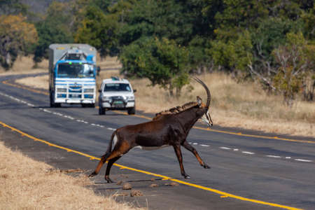 Sable Antelope (Hippotragus niger) crossing a road in Chobe National Park in northern Botswana, Africa.