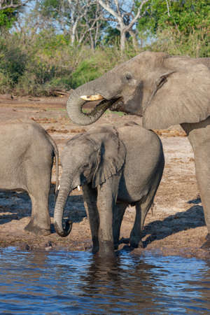 African Elephants (Loxodonta africana) drinking at the Chobe River in Chobe National Park in northern Botswana, Africa.