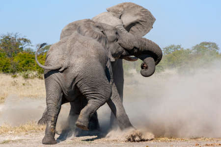 Two African Bull Elephants fighting in the Savuti region of northern Botswana.