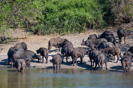 Herd of Buffalo (Syncerus caffer) on the riverbank of the Chobe River in Chobe National Park in northern Botswana, Africa.