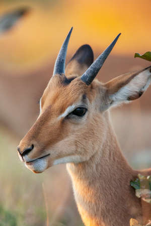 A young male Impala (Aepyceros melampus) in the Savuti region of northern Botswana, Africa.