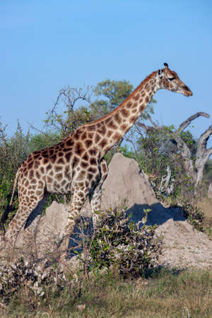 Giraffe (Giraffa camelopardalis) near a termite mound in the Savuti region of northern Botswana, Africa. The Giraffe is the tallest living terrestrial animal and the largest ruminant.