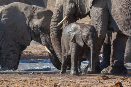 Family of African Elephants (Loxodonta africana) at a waterhole in Etosha National Park in Namibia, Africa. Stok Fotoğraf