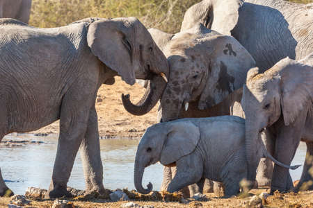 Family of African Elephants (Loxodonta africana) near a waterhole in Etosha National Park in Namibia, Africa.