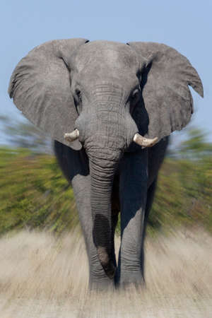 African Bull Elephant charging (Loxodonta africana)  in the Savuti region of northern Botswana, Africa.