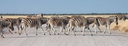 Herd of Zebra (Equus quagga) crossing a road in Etosha National Park in Namibia, Africa. Stok Fotoğraf