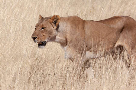 Lioness hunting (Panthera leo) in Etosha National Park in Namibia, Africa.