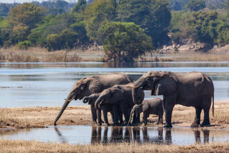 African Elephants (Loxodonta Africana) drinking on the riverbank of the Chobe River in Chobe National Park in northern Botswana, Africa. Stok Fotoğraf