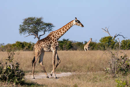Giraffe (Giraffa camelopardalis) walking in the Savuti region of northern Botswana, Africa. The Giraffe is the tallest living terrestrial animal and the largest ruminant.