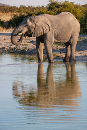 African Elephant (Loxodonta africana) drinking at a waterhole in the Savuti region of northern Botswana, Africa.