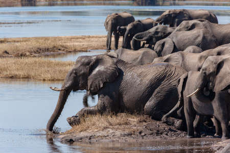 Herd of African Elephants (Loxodonta Africana) drinking on the riverbank of the Chobe River in Chobe National Park in northern Botswana, Africa. Stok Fotoğraf