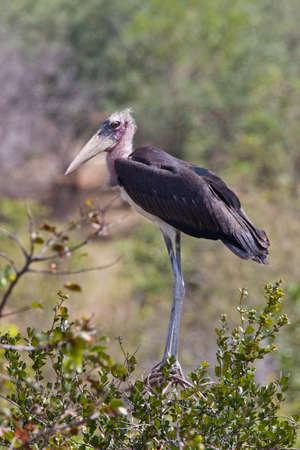 Marabou Stork (Leptoptilos crumenifer) - a large wading bird in the stork family Ciconiidae.