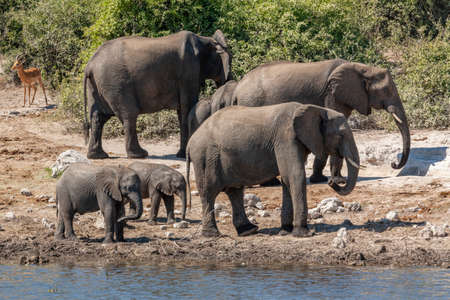 African Elephants and two babies (Loxodonta africana) in the Chobe River in Chobe National Park in northern Botswana, Africa.