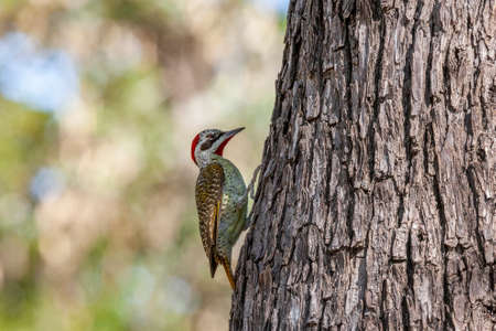Bennett's woodpecker (Campethera bennettii) in the west of Zimbabwe, Africa.