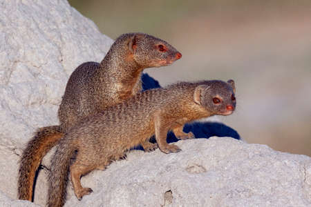 Two Slender Mongoose (Galerella sanguinea) in the Khwai River area of northern Botswana, Africa. 