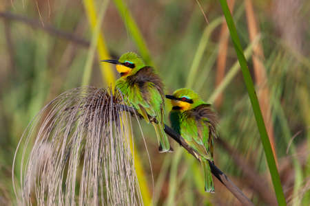 Two Little Bee-Eaters (Merops pusillus) with their feathers puffed up to keep warm in the early morning chill in the Okavango Delta in northern Botswana, Africa.