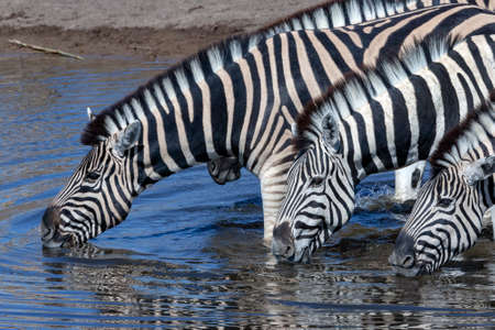 Group of Plains Zebra (Equus quagga) drinking at a waterhole in Etosha National Park in Namibia, Africa. Stok Fotoğraf