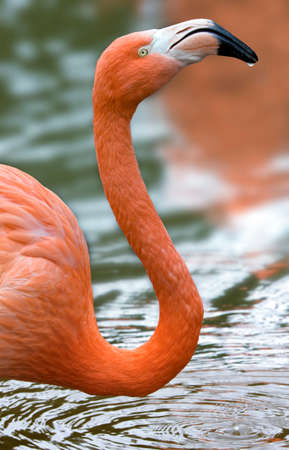 The American or Caribbean Flamingo (Phoenicopterus ruber) Stok Fotoğraf