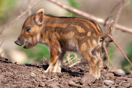 Young African Red River Hog (Potamochoerus porcus) Stok Fotoğraf