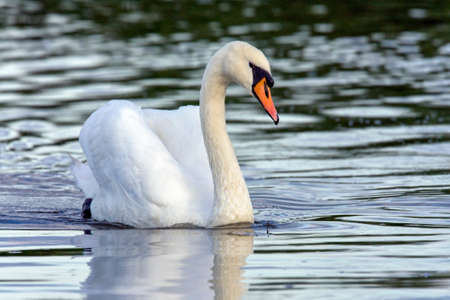 Mute Swans - Cygnus olor - on the River Ant on the Norfolk Broads in the United Kingdom.