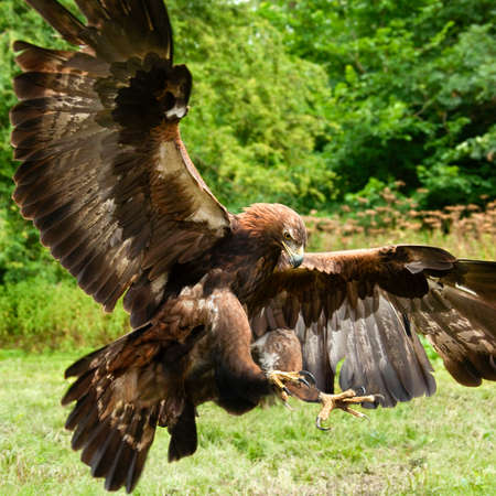 Golden Eagle (Aquila chrysaetos) in the Scottish Highlands.