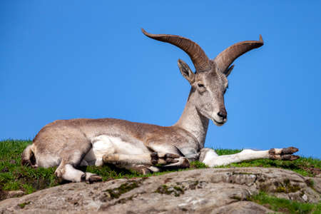 The Bharal (Pseudois nayaur), also called the Helan Shan Blue Sheep, Chinese Blue Sheep, Himalayan Blue Sheep or Naur. Native to the Himalayan areas of central Asia.