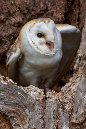 Barn Owl (Tyto alba). The most widely distributed species of owl in the world and one of the most widespread of all species of birds. It is also known as the Common Barn Owl.