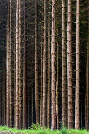Forest of pine trees in the north of Scotland.