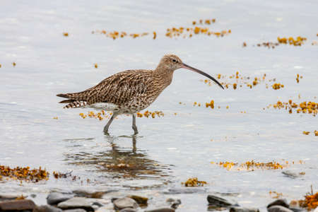 Eurasian Curlew (Numenius arquata) It is a migratory species over most of its range, wintering in Africa, Europe and south Asia. Photographed on the west coast of Scotland
