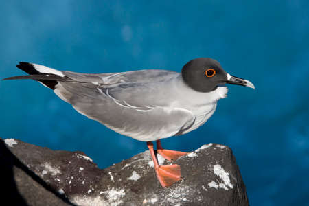 The Swallow-tailed Gull (Creagrus furcatus) is an equatorial seabird in the gull family Laridae. Only species in the genus Creagrus. It spends most of its life flying and hunting over the open ocean.