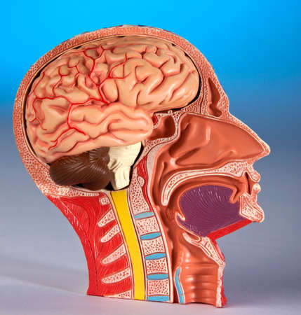 Human Physiology - Model showing a cross section of the human head and brain. 版權商用圖片