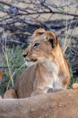 Lion cub (Panthera leo) in the Savuti region of northern Botswana, Africa.