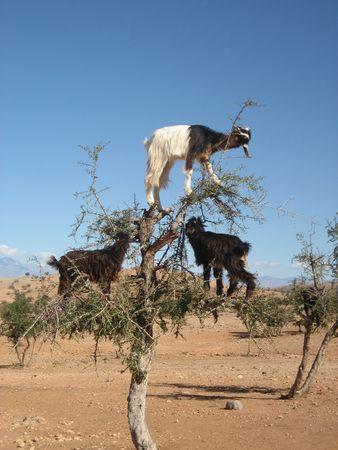 Geiten eten van fruit in Argan boom, Marokko Stockfoto