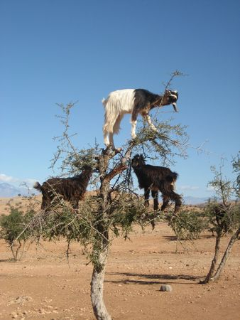 Goats eating fruit in Argan tree, Morocco