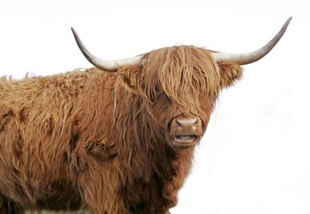 Brown long haired highland cow on white background Stock Photo