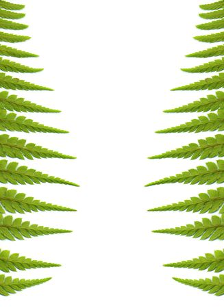 Green fern leaves background, isolated on white photo