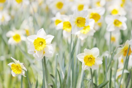 White and yellow daffodils in a field photo