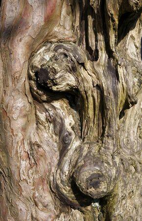 gnarled: Gnarled old tree trunk  Stock Photo
