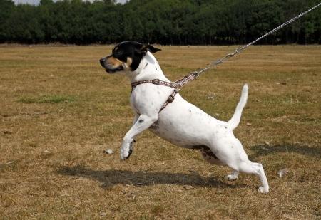 dog on leash: Peque�o perro blanco tirando un liderazgo