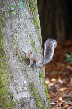 clinging: Squirrel clinging to the side of a tree