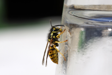 Wasp on the side of a glass in summer